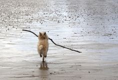 Cairn Terrier with the world's largest stick