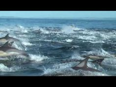 Dolphin Watching in Plettenberg Bay South Africa ~Saved by Galilee Guess (I was OVERWHELMED when I saw the number of dolphins!!! I got excited to see 1 or 2 in Southern California!!! Incredible!!!)