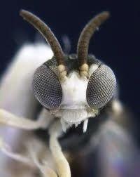Albino wasp