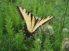 Tiger swallowtail and thistle, Morton Grove's Miami Woods restored tallgrass prairie.