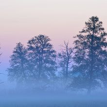 Fototapete - Black Alder in Morning Mist