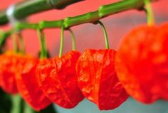 Physalis Chinese Lantern...Have these!