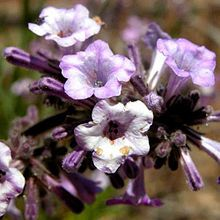 Warning! Burned areas of the PCT in Southern CA are full of a plant that is your worst nightmare!  Like many species in the forget-me-not family, Poodle-Dog Bush causes severe irritation if touched, akin to poison oak or stinging nettle. Check Halfmile's site for a map for a detour around this infestation. http://www.pctmap.net/pctdownloads/ca_section_d_pdb_map.pdf
