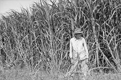 Sugar cane worker, Louisiana, 1935