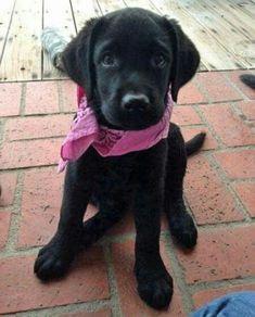 Cute Labrador Retriever #labrador #dog #dogguide4u #labradorretriever
