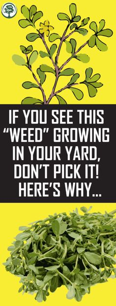 "If You See This ""Weed"" Growing In Your Yard, Don't Pick It! Here's Why… If you see this ""weed"" growing … Garden Care, Endocannabinoid System, How To Make Money, How To Get, Yoga Quotes, Bodybuilding Motivation, Back Pain, Good To Know, Summer Vibes"