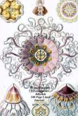 Ernst Haeckel Peromedusae Jellyfish 100 Page Lined Journal: Blank 100 page lined journal for your thoughts, ideas, and inspiration