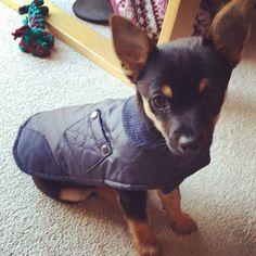 Loving his wax jacket #baxter #jackchi #puppy