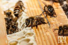 Il meraviglioso #mondo delle #api, conosci le loro abitudini, i pericoli che affrontano ogni giorno, la #vita laboriosa e stupefacente dell' #alveare! #Fotografia di Riccardo Meneghini per Macro Minifauna rmpics© #TrentinoinMostra, #TrentinoNatura.