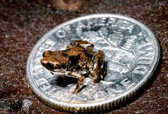 Reeebit!    Tiny frog found in Papua New Guinea.