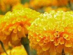 I love this bright yellow marigold.