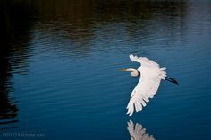 Egret flying low over Lake of the Isles | Minneapolis Photography Photo Blog