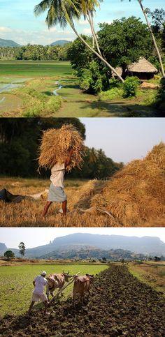 Rural life in the Kurunegala region, Sri Lanka (www.secretlanka.com)