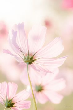 秋の桜色 | 植物 > 花・花びらの写真 | GANREF Cosmos Flowers, Flowers Nature, Pretty Flowers, Wild Flowers, Sunflower Wallpaper, Beautiful Flowers Wallpapers, Flower Aesthetic, Cute Wallpaper Backgrounds, Photo Wall Collage
