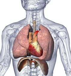 Human Lungs and Heart HLH03