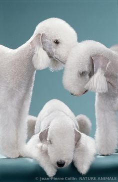 Bedlington terrier breed dogs
