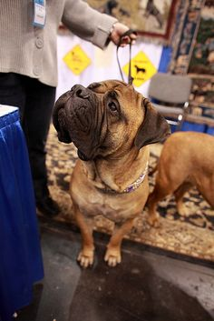 Bullmastiff.  Handsome giant
