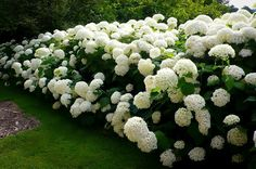 Annabelle Smooth Hydrangea Hydrangea arborescens annabelle Annabelle is a stunning white hydrangea, often producing flower heads over 10 in diameter. Blooms every year even after severe pruning and… Hydrangea Arborescens Annabelle, Annabelle Hydrangea, Garden Shrubs, Shade Garden, Bushes And Shrubs, Garden Paths, Backyard Shade, Front Yard Landscaping, Bougainvillea