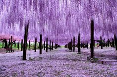 "Japanese Wisteria-Blooming-Tunnel. From late April to mid May is one of the most beautiful seasons in Japan, as the flowers of Fuji (Japanese Wisteria) bloom all over the country. Although there are several variants of the flower-color [pink, purple and white], violet is the most common and the symbolic-color of Mt. Fuji. Some places for visiting the Wisterias in bloom are Ashikaga Flower Park in Tochigi, and the ""Fuji Tunnel"" at Kawachi Fuji Garden, Fukuoka, Japan."