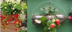 Plantar morangos em Casa - Dicas de como plantar morangos em vasos, floreiras, jardins, sacos plásticos, garrafas PET, como plantar morangos, regar,colheita