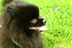 Pomeranian.    Like, repin, share! :)