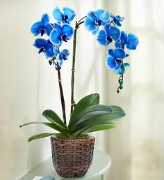 bonsai flower orchid bonsai, beautiful phalaenopsis orchid home garden plant orchid pot quality flower Indoor Orchids, Orchids In Water, Orchids Garden, Blue Orchids, Home Garden Plants, Indoor Flowers, Orchid Pot, Orchid Plants, Orchid Flowers