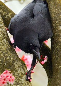 Crows make a wide variety of calls or vocalizations. Crows have also been observed to respond to calls of other species