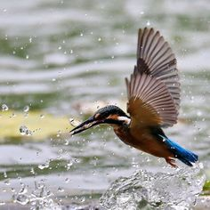 A kingfisher catches a fish at the Niukouyu water reservoir in Beijing, China. Kingfishers are interesting birds. Their vivid colour is iridescence, not pigment – the pigment is actually dark brown!
