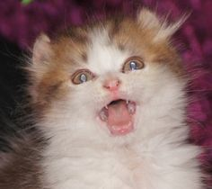 This is My own Tristan ... He is an American Curl Kitten and my little Fairy Cat and his battery is never down ...