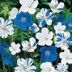 Blue & White Hardy Everblooming Geranium Mix. Three striking styles—blue, white, and white owers with blue streaks—create a cool splash of color. Makes a great accent for red, pink and yellow blooms.  Zones 3 to 8.  Full Sun to Partial Shade.  Deer Resistant Perennials. ~Michiganbulb.com~