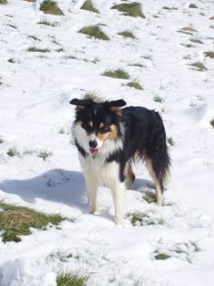#Border_Collie #Puppy #Beautiful #Snow