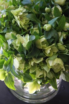 Helleborus Double Ellen Green