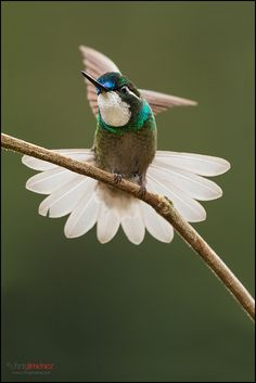 ~~White-throated Mountaingem Hummingbird by Chris Jimenez Nature Photo~~