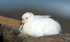 Snowy (Pale-faced) Sheathbill (Chionis albus) in South Africa's Eastern Cape province – Focusing on Wildlife