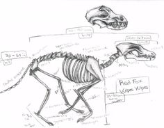 Squelette De Renard Roux Red Fox Skeleton Vulpes Vulpes ♂ Anatomy Animals And Birds
