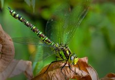 Southern Hawker Dragonfly Southern, Photos, Pictures, Photographs, Cake Smash Pictures
