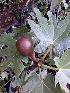 Fig Plant LSU PURPLE Gallon Size will bear fruit twice in a year considered best for fresh eating allround fig treeHydrangeas Shrub Evergreens Gardenia -- Read more reviews of the product by visiting the link on the image.
