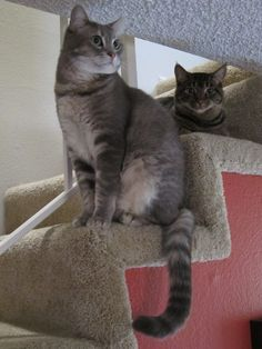 two tabbies #cats