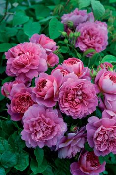 Rosa Princess Anne ('Auskitchen') (PBR) - Previewed at The Chelsea Flower Show in 2010 by David Austin