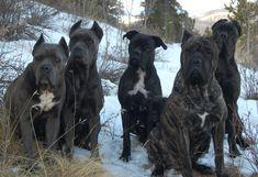 Dogwood Cane Corso - Dogwood Kennels