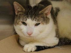 """ELI - A1052510 - - Manhattan **TO BE DESTROYED 10/07/15** AVERAGE-rated ELI was brought to the ACC with his BFF, Elliot, who the """"shelter"""" has already killed. Tonight it's all about ELI and finding a foster/adoptive home so he doesn't wind up dead as well! ELI and his former friend had been wandering into and out of some woman's home, but she couldn't keep them and she probably didn't care that the ACC would potentially kill both c"""