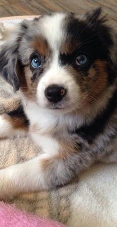 Everything we all admire about the Exuberant Australian Shepherd Dogs Super Cute Puppies, Cute Baby Dogs, Cute Dogs And Puppies, Doggies, Australian Shepherd Puppies, Aussie Puppies, Puppies Gif, Mini Australian Shepherds, Aussie Shepherd