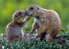 I cani della prateria si salutano baciandosi