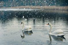 El cisne como animal totémico es el puente mediador entre los hombres y los dioses y nos invita a descubrir nuestra naturaleza interior.