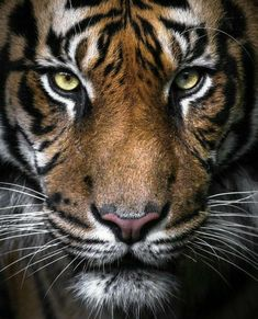 The Perfect Tiger Hd Wallper BigCatFamily