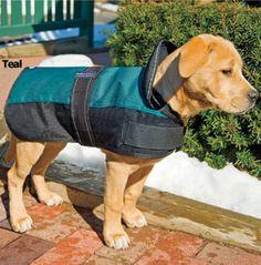 Izzy still not full grown, modeling a dog coat.