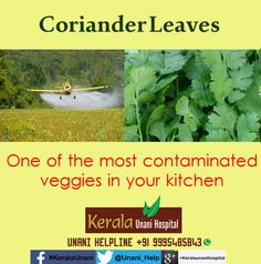 Coriander Leaves, one of the Most Contaminated Veggies in Kerala, Clean Well Before Use...  Visit us at KeralaUnani.com Unani Helpline: +91 9995 485843