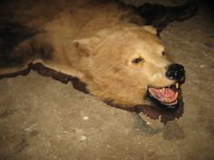 Taxidermy Grizzly Bear rug mount used but good by taxidermyjim, $1900.00