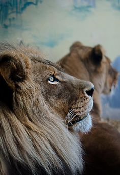 Pondering Lion (via) | VE