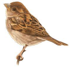 Vogels - francien van westering Watercolor Bird, Watercolor Animals, Watercolor Paintings, Bird Drawings, Animal Drawings, Bird Cards, Botanical Drawings, Vintage Birds, Mural Painting